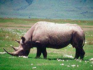 libertatea rinocer